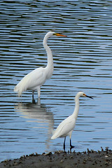 Great egret and snowy egret (cheryl.rose83) Tags: bird egret greategret snowyegret