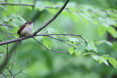 Carolina Wren Profile 2 (fredhosley) Tags: nature birds forest canon state wildlife massachusetts carolina wren upton