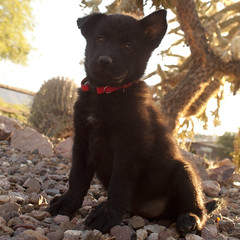 Ursula Bear Full (Immature Animals) Tags: arizona cactus rescue dog baby black animal female puppy desert tucson ears az marshall whiskers belly foster derek bark chow pup paws frontyard adopt chowchow neuter spay koalition derekmarshall