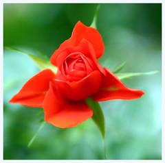 Open Rosebud (saniradi) Tags: flora tamron2875mm niceflower canon500d flowerdome gardensbythebay