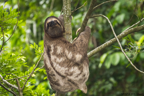 Preguiça-de-garganta-marrom (Bradypus variegatus) - brown-throated sloth