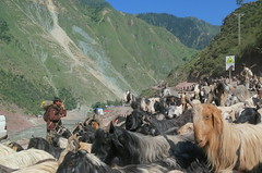 Balti nomads with over 200 pashmina goats, Neelum Valley, Kashmir (Paul Snook) Tags: pakistan village goats kashmir nomads neelumriver neelumvalley nauseri gujja