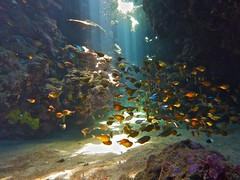 This is why I dive... (someofmypics) Tags: red sea butterfly nemo egypt hilton diving mohammed linda kati ras triggerfish sharm yolanda anthias sonesta jakfish