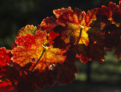 Autumn Leaves on an Old Grape Vine, Backlit by the Afternoon Sun, Ridge Winery (fcphoto) Tags: california trees mountain nature leaves landscape leaf scenery earth sunny hike winery valley environment siliconvalley santacruzmountains mothernature mountaintop ridgewinery montebelloroad fcphoto