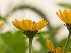20160723-IMG_0109 (MandoCatDSM) Tags: sunflowers badger creek wildflowers sunrise