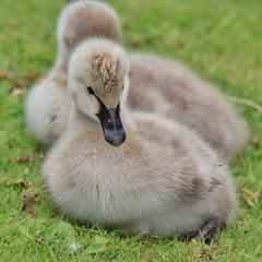 Dunenkken vom Trauerschwan (Haeppi) Tags: trauerschwan schwan kken vogel bird swan cygnet blackswan