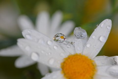 macro daisy! (pat.thom974) Tags: daisy drop macro
