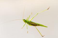 Katydid (billd_48) Tags: ohio summer nature macro insects katydid northfield oh usa
