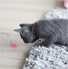 IMG_2527 (murkla_la) Tags: cat russianblue moussie gray graycat