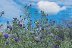 American Goldfinch visiting the grasslands around the building (lezumbalaberenjena) Tags: animal animales animals canada canad ontario ottawa 2016 bird american goldfinch yellow black