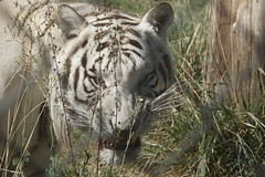 036_Great Cats Park_White Bengal Scooby (steveAK) Tags: greatcatsworldpark tiger bengaltiger