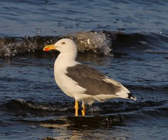 Yellow-footed Gull (tombenson76) Tags: yellowfootedgull laruslivens northshore saltonsea