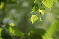 Helios 40-2 (Caledonia84) Tags: sony a6000 botanicgardens glasgow scotland bokeh helios 40 swirly green leaf