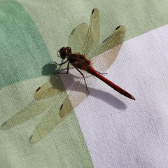 Resting on a pillow (liisatuulia) Tags: porkkala korento dragonfly