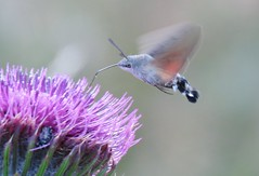 Butterflies of Bulgaria: Hummingbird hawk-moth (Elisa1880) Tags: bulgaria bulgarije vlinder butterfly rila mountains rilagebergte kolibrievlinder macroglossum stellatarum hummingbird hawkmoth govedartsi