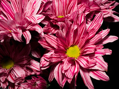 Candy-stripes (P'sych) Tags: crysanthenum stilllife pink flower candystripe olympus60mmmacrolens onelight white desklamp