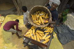 Farm worker Kalu Ram Chaudhary tips cobs into a shelling machine powered by 4WT in Rambasti, Kanchanpur. (CIMMYT) Tags: nepal csisa cimmyt maize agriculture smallholder farmer mechanization asia