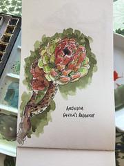 Aeonium (matteotarenghi) Tags: tumblr aeonium gavilas porto azzuro isola delba tarenghi matteo sketching watercolor illustration flower