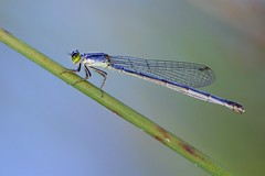 Damsel Fly at Rest (imageClear) Tags: insect nature damselfly resting delicate color beauty macro profile marsh beach sheboygan wisconsin aperture nikon d600 105mm imageclear flickr photostream