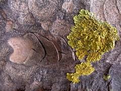echo (Edinburgh Nette ...) Tags: lichens xanthoria parietina foliose pine bark september13 ribbet