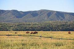 Morning Grazing (T.M.Peto) Tags: grandtetonnationalpark wyoming bison buffalo grass mountains fence morning biggame nature wildlife wildanimals animals animallife outdoors travel nationalpark nps mygtnp getoutdoors getoutside landscape grassland field mountainside