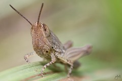 IMG_7428 (Jamil-Akhtar) Tags: canon6d canonmpe65mmf28 nature macro insect islamabad pakistan grasshopper