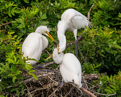 Cough it up Mum! (Andy Morffew) Tags: greatwhiteegrets nest chick feeding stimulating behavior florida andymorffew morffew venicerookery naturethroughthelens