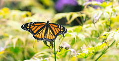 Monarch in the Botanical Garden (bboneyardd) Tags: clounds flower flowers rose monarch butterfly blue green pink montreal quebec summer trip photograph photography nikon d3100 canada