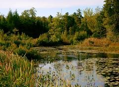 lily pond (Icanpaint1) Tags: plants maine aquaticplants pondplants lilypond wjtphotos