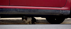 cat under car (Jamie Toal) Tags: 50mm canon canon550d niftyfifty malta mosta europe travel animals nature