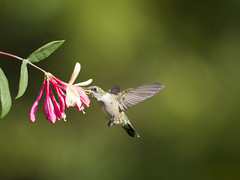 Hummingbird with honeysuckle 3 (Connie Etter Photography) Tags: flight indiana flower eat honeysuckle canon 100400mm rubythroat rubyredthroat 100400
