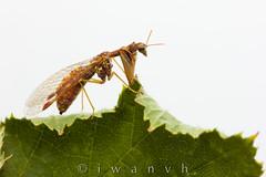 Mantispa styriaca (iwanvh) Tags: art artist biodiversity environement iwan iwanvh naturalist naturaliste nature photographe photographer vanhoogmoed wwwiwanvhcom neuroptera