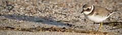 Charadrius hiaticula - Pllara real (Ben Deito Photo) Tags: chorlitejogrande ringedplover charadriushiaticula pllarareal