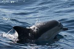 Delfn comn (ramosblancor) Tags: naturaleza nature animales wildlife mamferos mammals mar sea delfncomn commondolphin delphinusdelfis estrechodegibraltar straitofgibraltar tarifa cdiz espaa spain viajar travel