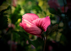 Anticipating the true colors (Patricia McAtee - Photos of Maine) Tags: pinkflower outdoor blossom blossoms hollyhock dew raindrop dewdrop