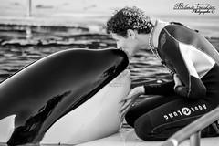 complicit homme/animal (orcamel30) Tags: orque orca epaulard valentin valou soigneur complicit bisous calin nikon 55300 marineland biot antibes france emotion douceur