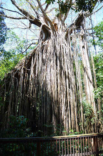 DSC_5850 curtain fig tree, Yungaburra National Park, Queensland