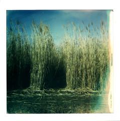 Miscanthus (P o i t a s c h) Tags: polaroid600 sofortbild landschaft kraichgau felder miscanthus winter poitasch
