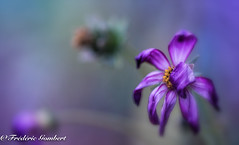 Autumn desire (frederic.gombert) Tags: cosmos sun color colors flower flowers purple violin blue pink red rain autumn summer macro nikon d810