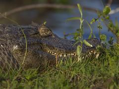 Yacar (Rouge Gaston Argentina) Tags: yacare obero reptil esteros ibera cuero dientes