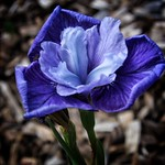Toronto Ontario ~ Canada ~ Edwards Botanical Gardens ~   Blue Flower thumbnail
