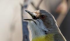 white-throated gerygone (Gerygone olivacea) -5842 (rawshorty) Tags: rawshorty birds canberra australia act campbell