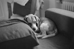 My little precious (Novanto) Tags: novanto asahipentaxspotmaticsp takumar 50mm film blackwhite ilford ilfordfp4plus beagle dog