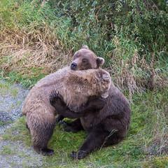 Bear hug {EXPLORED} (spwasilla) Tags: wildlife brownbear bear grizzly play hug alaska katmainationalpark brooksriver