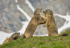 Match con arbitro :) (marypink) Tags: ceresolereale parconazionalegranparadiso valleorco piemonte marmotte marmot mammalia rodentia sciuridae xerinae marmotini nikond7200 nikkor80400mmf4556