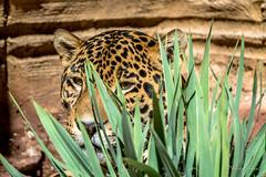 Stalking Jaguar Ready to Strike (tspottr723) Tags: turtle back zoo west orange new jersey nj nikon d7100 tamron 150600 animals animal carnivore jaguar big cat feline predatory predator beast mammal
