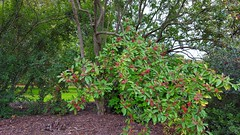 """Cotoneaster Frigidus"" (standhisround) Tags: berries fruit leaves trees tree cotoneasterfrigidus shrub rbg royalbotanicalgardens garden kewgardens kew london uk himalayan ornamental"