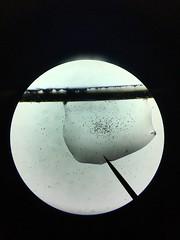 Single celled organisms 100x (nikitalesnik) Tags: 100 small nature life biology iphone animal protist bacteria algae microscope cell single
