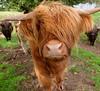 Hairy Coos, nr Applecross (celtic light) Tags: celticlight scotland northcoast500 highlandcattle cow bullock nc500