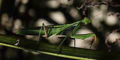 Mantis religiosa (micmicmuc) Tags: insect insecte animal mante mantis religiosa